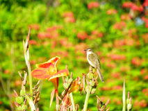 Plain Prinia. On flower in garden Stock Photo