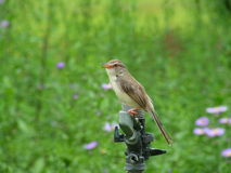 Plain Prinia in garden. Nature Stock Images