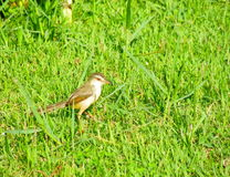 Plain Prinia. On grass in garden Royalty Free Stock Photo