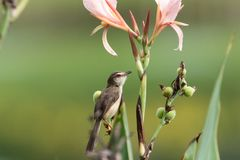 Plain prinia with pink flower. The plain prinia Prinia inornata, also known as the plain wren-warbler or white-browed wren-warbler, is a small cisticolid warbler royalty free stock photos