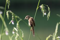 Plain prinia. The plain prinia, or the plain, or white-browed wren-warbler is a small warbler in the Cisticolidae family. It is a resident breeder from Pakistan stock images