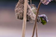 Plain prinia Prinia inornata Bird Stock Photos