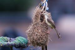 Plain prinia Prinia inornata Bird Royalty Free Stock Image