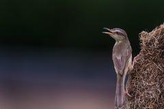 Plain prinia Prinia inornata Bird Stock Image