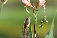 Plain prinia rest on branch. The plain prinia Prinia inornata, also known as the plain wren-warbler or white-browed wren-warbler, is a small cisticolid warbler stock photos