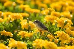 Plain Prinia or White-browed Prinia or Prinia inornata. A little bird on marigold flowers Stock Photography