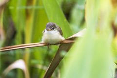 Plain Prinia or White-browed Prinia in the nature Stock Images