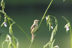 Plain prinia. The plain prinia, or the plain, or white-browed wren-warbler is a small warbler in the Cisticolidae family. It is a resident breeder from Pakistan royalty free stock photo