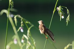 Plain prinia. The plain prinia, or the plain, or white-browed wren-warbler is a small warbler in the Cisticolidae family. It is a resident breeder from Pakistan stock photography