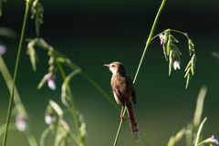 Plain prinia. The plain prinia, or the plain, or white-browed wren-warbler is a small warbler in the Cisticolidae family. It is a resident breeder from Pakistan stock photo