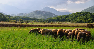 Plain rocchetta sheep grazing. Abruzzo Lazio Molise national park Royalty Free Stock Photo