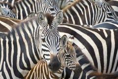 Plain's zebra (Equus quagga) on the savanna. Plains zebra (Equus burchellii) portrait from mother with foal in herd, Serengeti national park, Tanzania stock image
