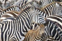 Plain's zebra (Equus quagga) on the savanna. Plains zebra (Equus burchellii) portrait from mother with foal in herd, Serengeti national park, Tanzania stock photo