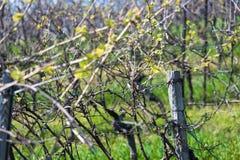 In a spring vineyard. In a plain spring vineyard stock photos