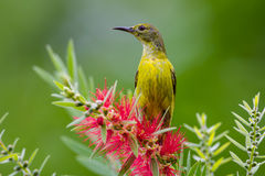 Plain Sunbird(Anthreptes simplex) Stock Photo