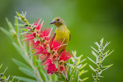Plain Sunbird(Anthreptes simplex) Royalty Free Stock Photography