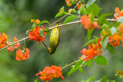 Plain Sunbird(Anthreptes simplex) with the flower in nature Royalty Free Stock Images