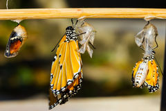 Emerging plain tiger butterfly. New born Plain tiger butterfly and mature pupa royalty free stock image