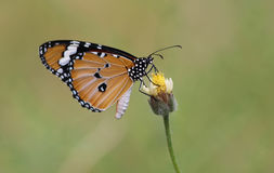 Plain Tiger butterflies Royalty Free Stock Image