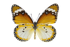 Plain Tiger Butterfly. Close-up Plain Tiger Butterfly isolated on white stock photo