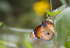 Plain tiger butterfly Stock Images
