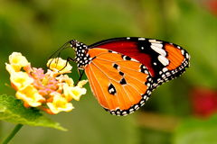 Plain Tiger Butterfly Royalty Free Stock Photography
