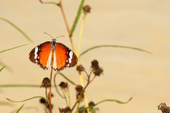 Plain tiger butterfly Royalty Free Stock Image