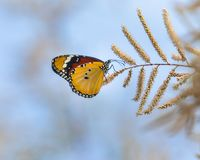 Plain tiger butterfly. Plain tiger or African monarch butterfly (Danaus chrysippus) on flowers of tamarisk tree (Tamarix smyrnensis royalty free stock photo