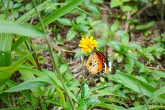 Plain tiger butterfly - aka African Queen - Danaus chrysippus - sitting on small yellow flower, green grass around.  royalty free stock photo