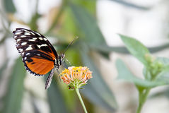 Plain Tiger Butterfly. Black and orange butterfly plain tiger royalty free stock image