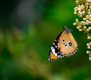 Plain Tiger Butterfly. With a blurred green background Royalty Free Stock Photo