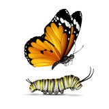 Plain Tiger butterfly and caterpillar. Vector realistic Plain Tiger or African Monarch butterfly and caterpillar close up side view isolated on white background stock illustration
