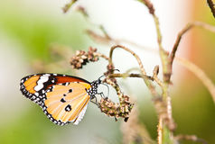 Plain tiger butterfly Royalty Free Stock Photo