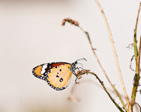 Plain tiger butterfly Stock Image