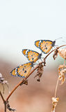 Plain tiger butterfly Royalty Free Stock Photos