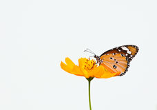 Plain tiger butterfly Stock Photo