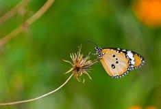 Plain tiger butterfly Stock Photos