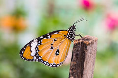 The Plain Tiger butterfly Stock Photography