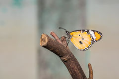 The Plain Tiger butterfly Royalty Free Stock Photography