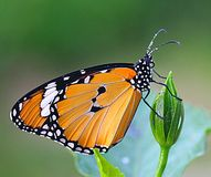 Plain Tiger Butterfly. An close up image of a single plain tiger butterfly perched on the flower bud stock image