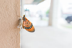 Plain Tiger butterfly. Close up of newly emerged Plain Tiger butterfly stock photography