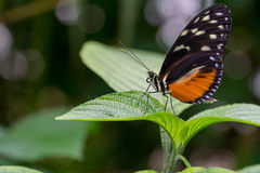 Plain Tiger butterfly Royalty Free Stock Images