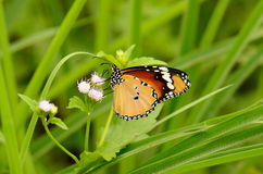 Plain Tiger butterfly (Danaus chrysippus) Stock Photos