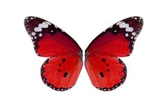 Plain Tiger Butterfly (Danaus chrysippus) Stock Images