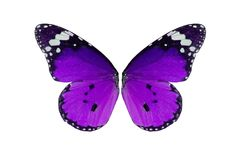 Plain Tiger Butterfly (Danaus chrysippus) Stock Image