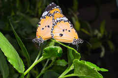 Plain Tiger butterfly (Danaus chrysippus butterfly) butterflies. Mating with on background stock photo