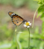 Plain Tiger butterfly (Danaus chrysippus butterfly) on a flower. Plain Tiger butterfly (Danaus chrysippus butterfly) on a grass flower stock image