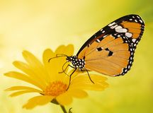 Warm-colored plain tiger butterfly, Danaus chrysippus, on a marigold flower on yellow blured background. royalty free stock photo