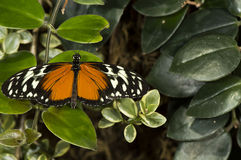 Plain Tiger. A plain tiger butterfly (Danaus chrysippus) of the Nymphalidae family stock image