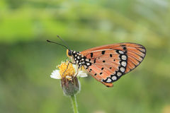 Plain Tiger butterfly feeding on flower Stock Image